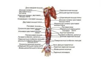 Назви м`язів людини - для чого потрібно їх знати?